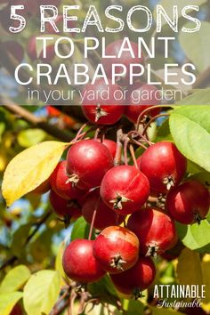 """A crabapple is a great addition to small gardens and orchards, plus they offer some surprising benefits! Consider adding one of these fruit trees to your """"must plant"""" list."""