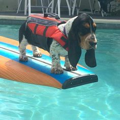 14 Basset Hounds Who Really Need Cheered Up Basset Puppies, Hound Puppies, Basset Hound Puppy, Dogs And Puppies, Beagles, Doggies, Dachshunds, I Love Dogs, Cute Dogs