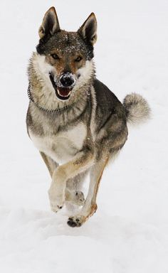 Jawzahr z Peronowki V. Beautiful Wolves, Beautiful Dogs, Animals Beautiful, Cute Animals, Wolf Images, Wolf Pictures, Wolf Poses, Tamaskan Dog, Wolf Hybrid