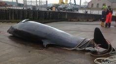 Campbeltown fishing boat hauls in dead minke whale in Scottish waters -- Sott.net   May 20, 2014