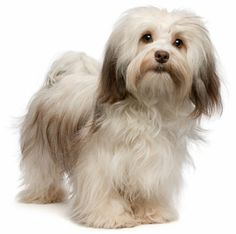 Havanese. Aww this is how my Snuffy would look if I let his fur grow long