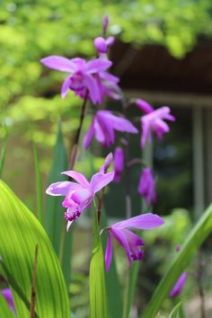 These Are The Flowers That'll Thrive in Your Shady Yard Bletilla shade perennials backyard garden Plants That Love Shade, Shade Loving Shrubs, Shade Garden Plants, Indoor Flowering Plants, Garden Shrubs, Cool Plants, Lawn And Garden, Best Perennials For Shade, Flowers Perennials