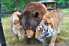 Lion, Tiger And Bear Raised Together After Rescue From Drug Dealer