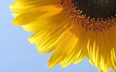Blog Florais e Cia...: BOCHECHAR COM O ÓLEO DE GIRASSOL