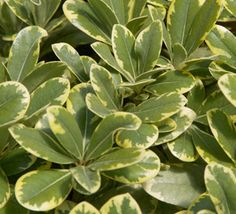 Mojo is a tough, evergreen shrub, with dense variegated foliage and orange blossom scented blooms. Great for hedges and foundation plantings, excellent salt tolerance makes Mojo perfect for planting along the coast, too.