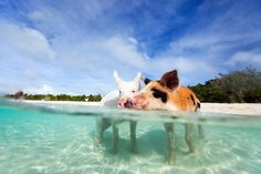 Not Just Dolphins: Where to Swim With Pigs, Penguins and the Gentlest of Sharks | Travel | Smithsonian