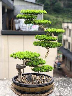 Bonsai Tree Types, Bonsai Plants, Bonsai Garden, Bonsai Trees, Garden Plants, Plantas Bonsai, Moss Garden, Small Trees, Flowers Nature