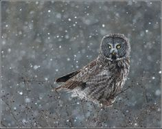 Ontario Birds and Herps: Great Gray Owl photoshoot
