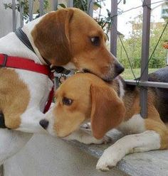 Aren't beagles ADORABLE ? Make sure you're not wearing make up that's created after torturing them. Check out beaglefreedomproject.org to make sure you're only buying from companies who deserve your money.