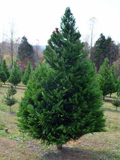 18 Living Christmas Tree Varieties --> http://www.hgtvgardens.com/trees/best-christmas-tree-types?soc=pinterest