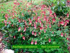 Native Texas Red Columbine