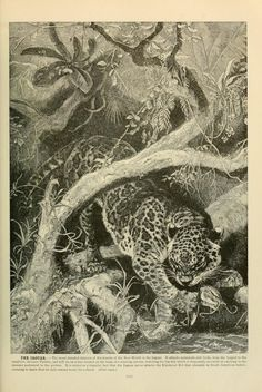 Jaguar, Brehm's Life of Animals: A complete natural history for popular home instruction and for the use of schools, Alfred Edmund Brehm, Volume 1 (Mammalia), 1895.