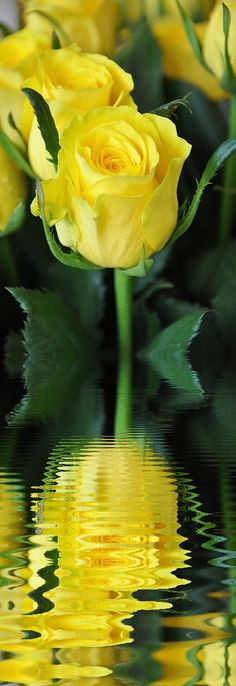 Yellow rose reflection .