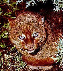 Jaguarundi - Felis yagouaroundi