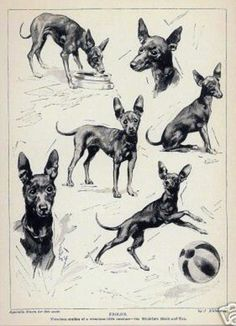 WHITE ENGLISH TOY TERRIER ANTIQUE 1900 ENGRAVING NAMED DOG PRINT READY MOUNTED