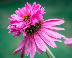 Echinacea Doubledecker. Picture; Suttons