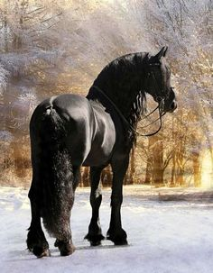 The Friesian horse embodies powerful agility and elegance. If you've ever seen a muscular, yet graceful, black horse in a film or TV program, there's a good chance it was a Friesian. All The Pretty Horses, Beautiful Horses, Animals Beautiful, Cute Horses, Horse Love, Horse Photos, Horse Pictures, Friesian Horse, Andalusian Horse
