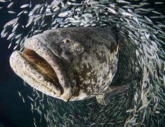 Meilleures photos sous-marines 2013 :Étudiant - Première Place - Laura Rock Mérou géant (Epinephelus itajara) pendant la période de reproduction annuelle à Jupiter, Floride (Etats-Unis)