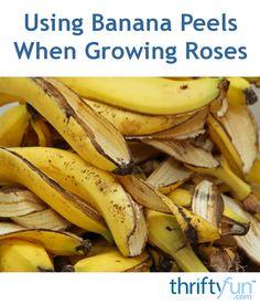 Try banana peels, stop wrinkles Skin aging? Try banana peels stop wrinkles Banana peel comes with loads of. Banana Peel Uses, Banana Peels, Banana Madura, Wrinkled Skin, Growing Roses, Home Remedies, Tricks, Healthy Life, Benefit