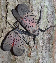 The spotted lanternfly is native to China, India, Japan, and Vietnam and has been detected for the first time in the United States in eastern Berks County, Pennsylvania. Wine Vine, Plant Pests, Insect Pest, Growing Grapes, Grape Vines, Pennsylvania, Insects, Vietnam, India