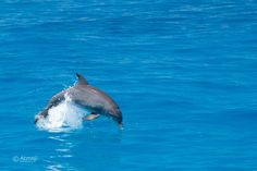 Joy jump! #consciousbreathers #dolphins have to come up for air. The joy part is who they are. #purpoiseinlife #lovelife #emptythetanks #Bimini #TheBahamas