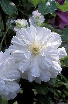 Clematis Belle De Woking Double Pure White Flowering Vine