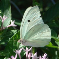 Giant White butterfly