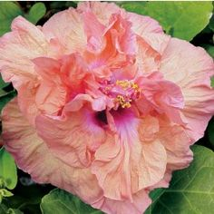 Hibiscus 'Persimmon' (Hibiscus rosa-sinensis)