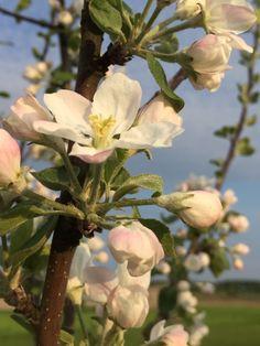 Omenapuu kukkii 2016