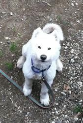 Snow is an adoptable Samoyed Dog in Bloomingdale, NJ. Meet Snow! He has a sad story. He was abandoned and extremely matted when he came to us. Our only option was to shear all his fur off, so he is lo...