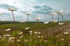Anemone hupehensis, kvete od VIII. - X.