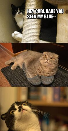 Hey Carl, have you seen my blue-- I don't know why cats making these faces make me laugh so much but seriously every time lol