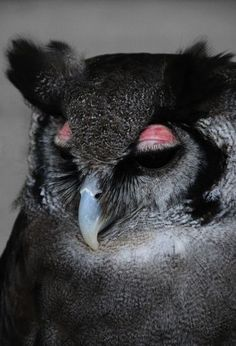 Giant Eagle Owl is the largest owl found in southern Africa.   The pink eyelids are diagnostic. Favours broadleafed woodland, savanna and thornveld.  Sometimes even seen in suburbia. Seen