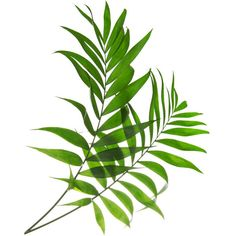 Tropical Leaf Print, Green Palm Art, Palm Art, Palm Leaves, Art Photo,... (£4.80) ❤ liked on Polyvore featuring home, home decor, wall art, green home accessories, green wall art, matte screen, paper wall art and photo wall art