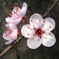 Flores Ciruelo / Flowers - Susanne Kuhlmann: After the successful referendum Plum Flowers, Flowers Nature, Exotic Flowers, Pretty Flowers, Spring Flowers, Nature Nature, Sakura Cherry Blossom, Cherry Blossom Flowers, Peach Blossoms