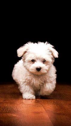 Poodle - filhote