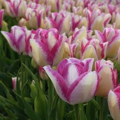 Tulip 'Del Piero'