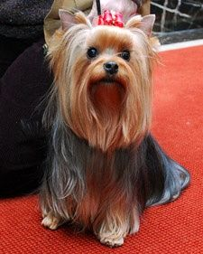 Yorkshire terriers, affectionately known as Yorkies, offer big personalities in a small package. recipes