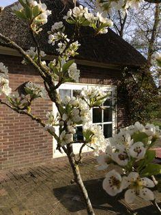 De perenboom bloeit
