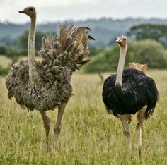 Mr & Mrs Ostrich at Kidepo Valley National Park, Uganda.