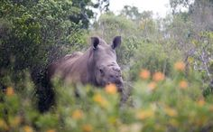 Rhino Who Survived Brutal Poaching Attack Welcomes a Baby