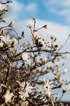 The stellata catching the afternoon sun, making its colours pop against the blue sky. Computer Screen Wallpaper, Wallpaper Backgrounds, Iphone Wallpaper, Magnolia Trees, Animal Skulls, Anime Scenery, Family Portraits, Portrait Photographers, Aesthetic Wallpapers