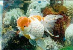 Golden Phoenix Fisheries - Pearl Scale