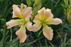 Daylily Golliwog Day Lilies, Plants, Flora, Plant