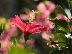 Hibiscus ( ハイビスカス )  ハイビスカスの向こうに見えるピンク色は桜。  沖縄では桜とハイビスカスが同時に咲くのを見ることも出来る。