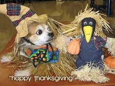 "chihuahua thanksgiving | ""happy thanksgiving to all of canada!"" 