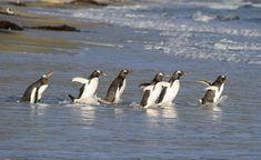 Gentoo Penguins going for a swim. - Gentoo Penguins going for a swim on Saunders Island in the Falklands.