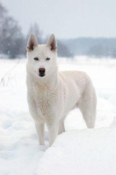 White Husky. Dog Lover?