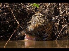 Jaguar Vs Caiman Brazil Pantanal 2010