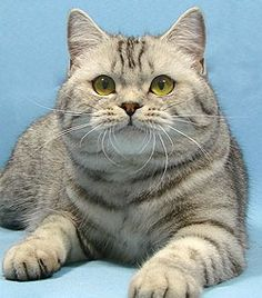 British Shorthair Silver Tabby <3 / Silver Spotted
